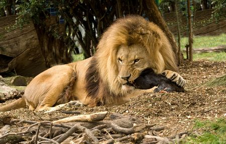 Large male lion gnawing on a huge bone