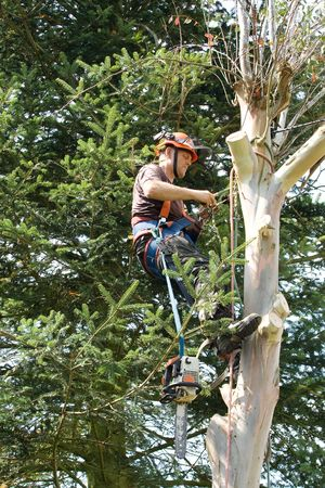 Man fixing ropes prior to sawing through branches of tree with the chainsaw hanging from his belt Stock Photo