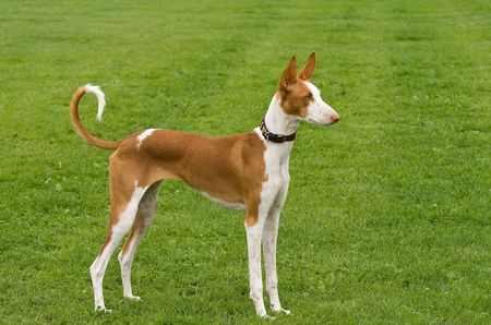 Ibizan Hound standing posed to perfection Stock Photo