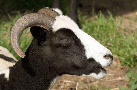 Head of recently sheared Jacob Sheep