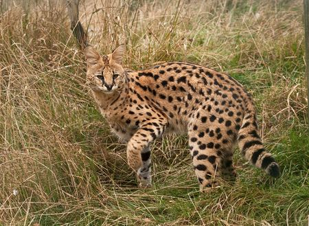 Serval cat turning back as she disappears into long grass