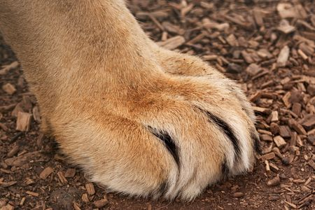Furry paw of a large lion, claws are sheathed