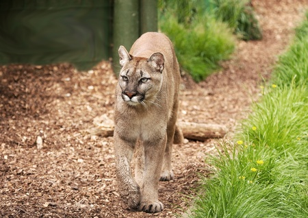 magnificent cougar or mountain lion pacing along a shaded path
