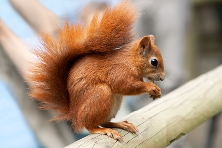 red squirrel eating a nut on a beam