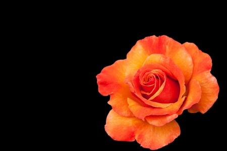 vibrant orange rose isolated on black