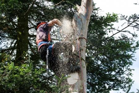 Sawdust flies as tree-surgeon saws through eucalyptus Stock Photo