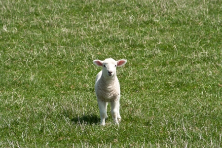 Inquisitive little lamb moving fast towards the camers Stock Photo - 19601473