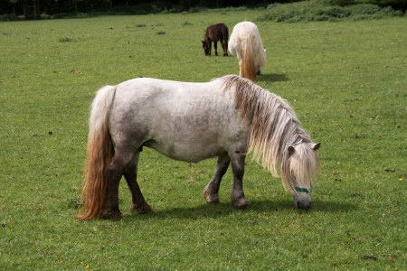 Small ponies quietly grazing in a Stock Photo - 19933941