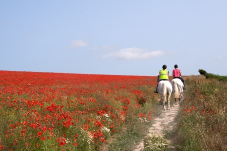 Two horses walking slowly through a field of poppies in the South Downs, East Sussex Stock Photo - 20920689