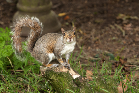 Grey Squirrel showing off his bushy tail