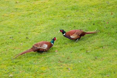 Early morning, wet grass, fighting cock daring each other to night