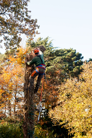 Man in harness and with chain saw pushing away cut section of tree trunk