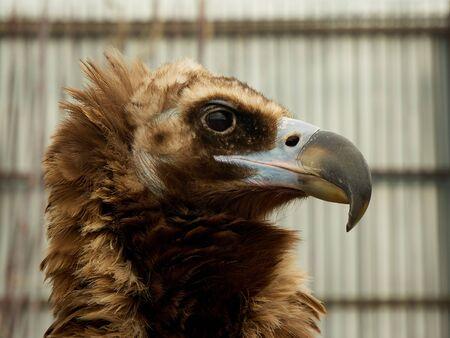 Close up head portrait of a eagle.
