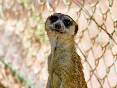 cute meerkat stands in a cage at the zoo