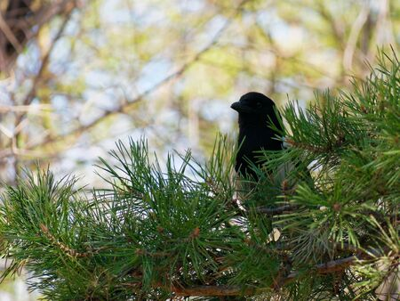 Magpie sitting on a pine branch
