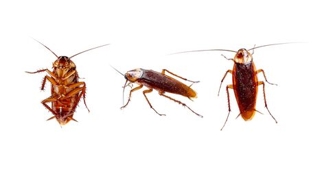 Set of cockroaches thailand isolated on white background. Top view, Bottom view and Side view of cockroaches. Stockfoto