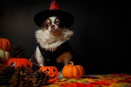 Adorable chihuahua dog wearing a Halloween witch hat with pumpkin on dark background. Stockfoto