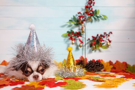 Adorable chihuahua dog wearing a New Year conical hat with maple leaves on festive background concept. Happy New Year 2020, Merry Christmas, holidays and celebration.