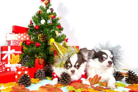 Two adorable chihuahua dogs wearing a New Year conical hat on festive background. Happy New Year, Merry Christmas, holidays and celebration. Copy space for text.