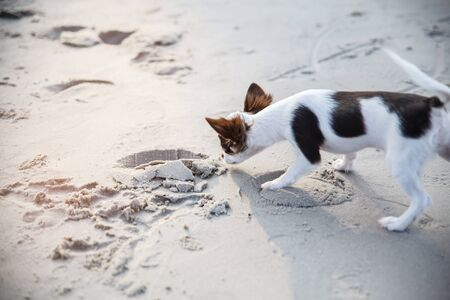 A small dog walking and playing some sand on the beach. Zdjęcie Seryjne