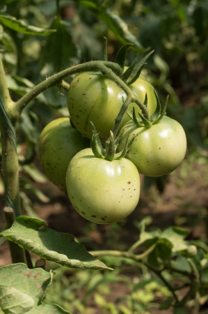 Green Tomatoes in a garden; close up photo