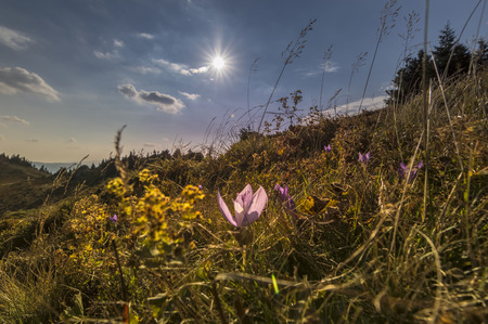 awaking: Blooming Violet Crocuses In Mountains, Late Autumn