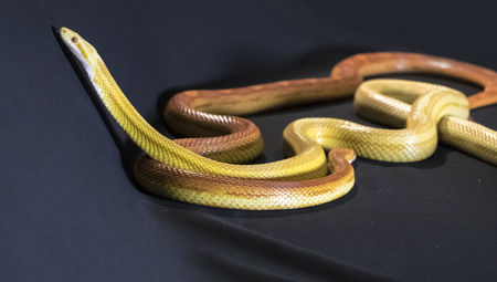 Creamsicle Corn Snake Elaphe guttata guttata isolated on black background Stock Photo