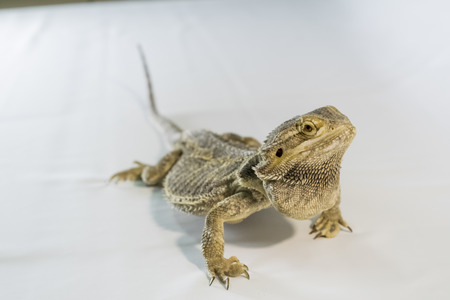Bearded Dragon Stock Photos And Images 123rf