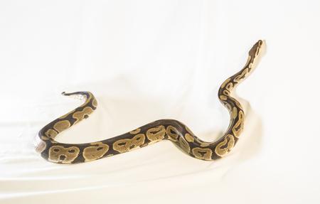 Royal or Ball Python snake, isolated on white background