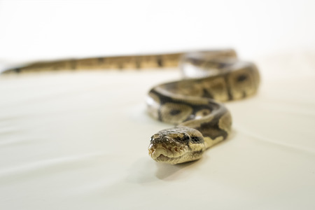 Royal or Ball Python snake, isolated on white background