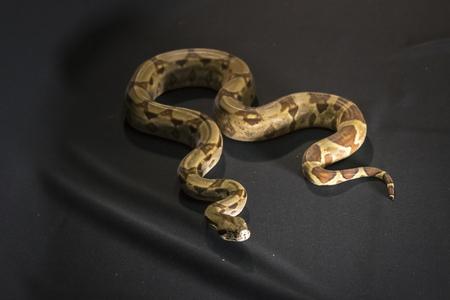 Royal or Ball Python snake, isolated on black background
