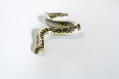 dwarf sand boas on white