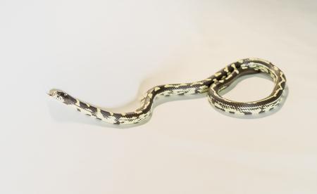 Creamsicle Corn Snake Elaphe guttata guttata isolated on white background Stock Photo
