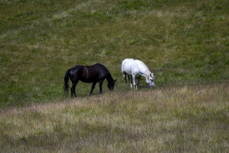 herd of horses grazing on a summer green meadow, in the mountains Stock Photo