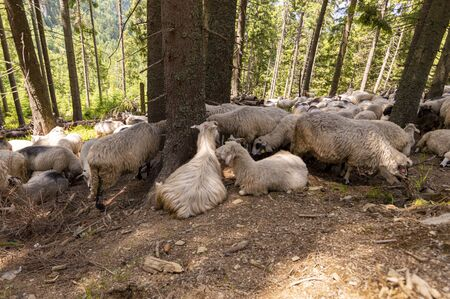 Flock of sheep in mountains with autumn forest