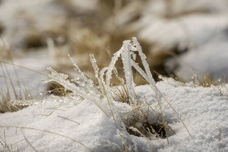 Frozen grass in snow in cold winter