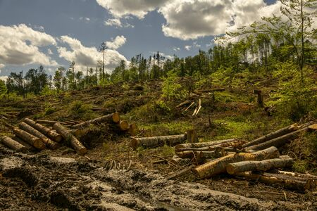 Forest felling, environmental destruction and global warming, by storms. Fallen trees in coniferous forest after strong hurricane.