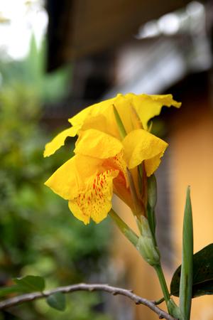 tropica: lily