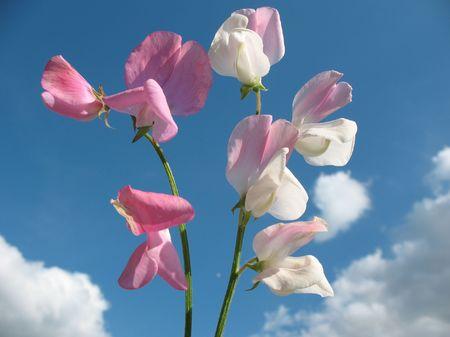 Sweet pea flowers (Lathyrus odoratus) Stock Photo