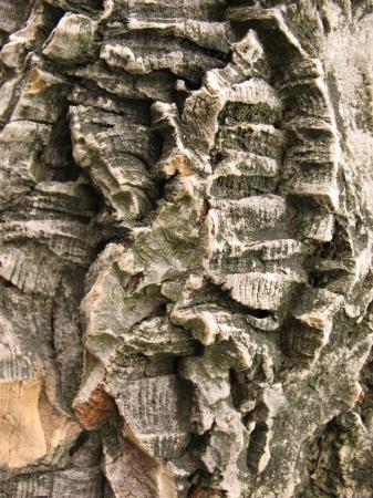 The bark  of Amur cork tree, lat. Phellodendron amurense Stock Photo
