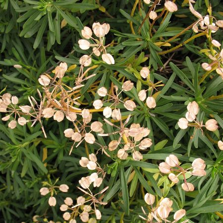 Cypress Spurge (Euphorbia cyparissias). Plants with dry fruits Stock Photo