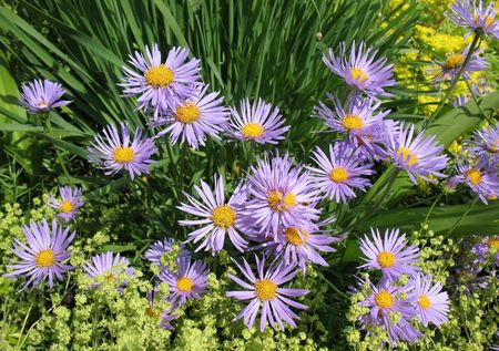 mollis: Bluish Aster (Aster tongolensis), family Compositae and soft mantle (Alchemilla mollis), family Rosaceae