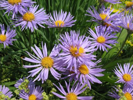 rosales: Bluish Aster (Aster tongolensis), family Compositae  Stock Photo
