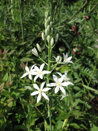 perianth: Ornithogalum pyrenaicum, family Hyacinthaceae