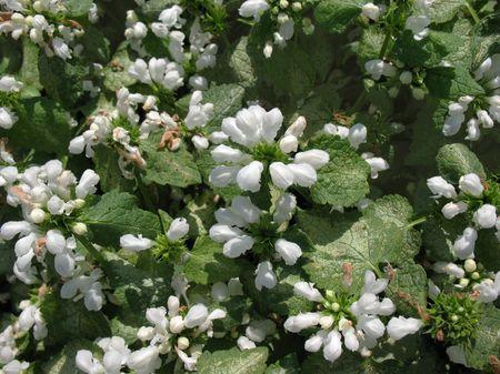 lamiales: Lamium spotted, or speckled (Lamium maculatum),  Lamiales