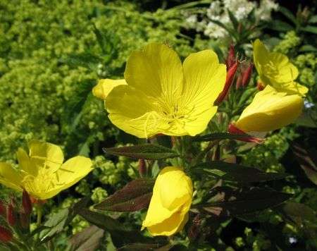 Evening primrose, or a night candle or Oenothera (Oenothera), family  Onagraceae