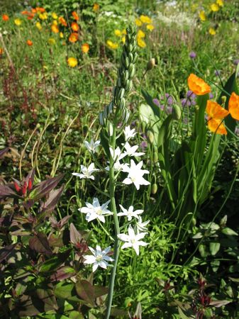 perianth: Ornithogalum pyrenaicum, family Hyacinthaceae, in the garden