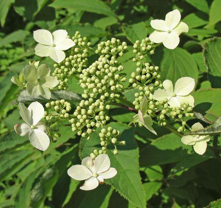 hydrangea macrophylla: Hydrangea macrophylla