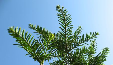 Branches of Canadian hemlock (Tsuga canadensis), pine family, against the blue sky Stock Photo