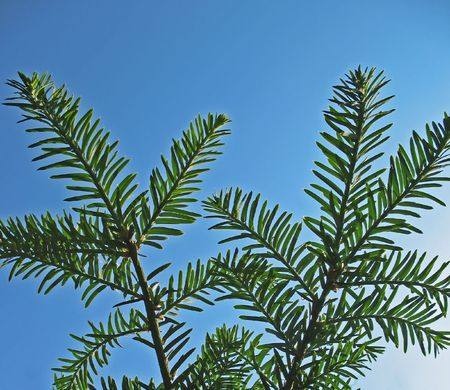 Branches of Canadian hemlock (Tsuga canadensis), pine family, against the blue sky Stok Fotoğraf